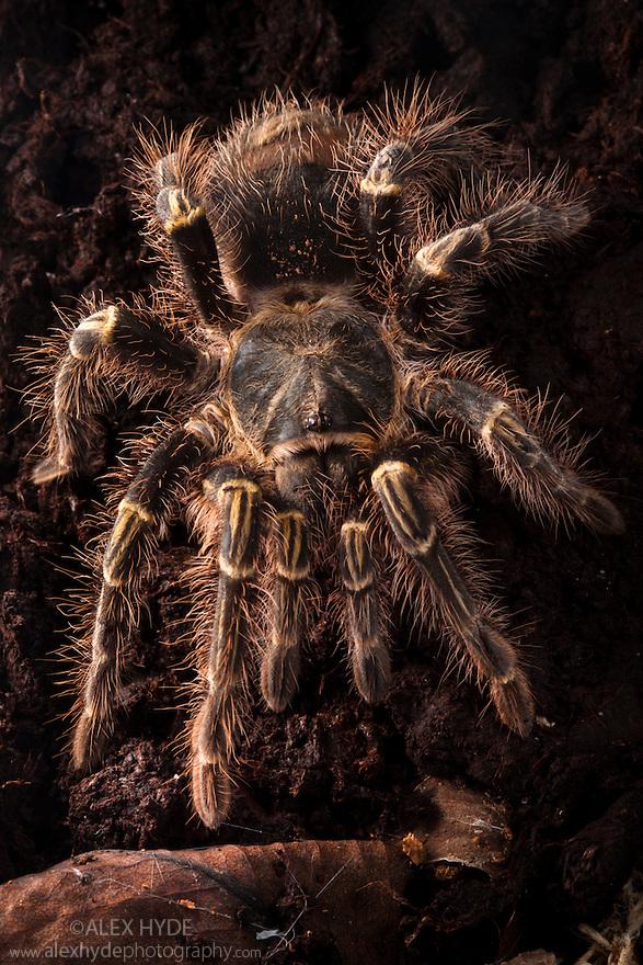 Chaco Golden Knee Tarantula male {Grammastola aureostriatum}. Captive, originating from South America. website
