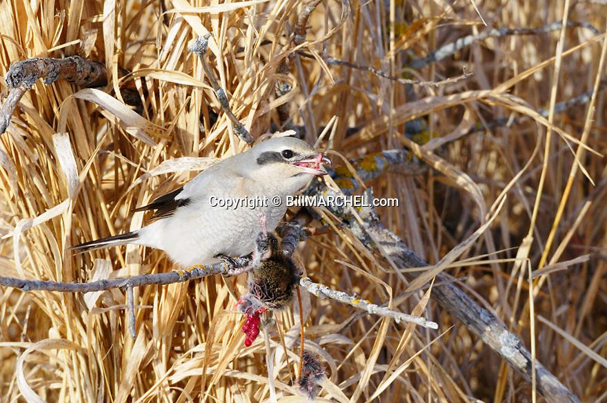 01041-001.13 Northern Shrike is feeding on a vole it impaled on a stick.  Predator, prey, bird of prey, butcher bird, raptor, mouse..