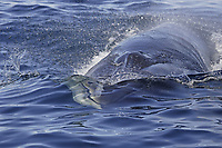 Head on view of Fin Whale Balaenoptera physalus feeding on Krill Thysanoessa inermis Spitsbergen Arctic Norway North Atlantic