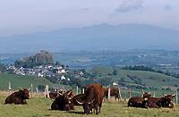 Europe/France/Auvergne/15/Cantal/Massif du Puy Mary/Vallée de la Cheylade/Env d'Apchon: Vaches Salers en paturage avec en fond le massif du Sancy (1885mètres)