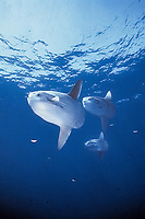 ocean sunfish, Mola mola, schooling, open ocean, San Diego, California, USA, East Pacific