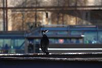 This is a member of a group of cormorants -Phalacrocorax carbo- that was used to stay along the Seine river, near the mouth of the Canal of Saint Martin. A touristic boat with people visiting the town passed while it was waiting for the appearing of something to eat (Paris, 2010).<br /> <br /> Questo è un membro di un gruppo di cormorani -Phalacrocorax carbo- che era solito stare lungo la Senna, vicino l'imbocco del canale di San Martino. Mentre stava aspettando l'apparizione di qualcosa da mangiare, è passata una barca di turisti in visita alla città (Parigi, 2010).