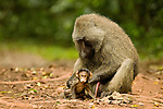 Olive Baboon (Papio anubis) male grooming young, Kibale National Park, western Uganda