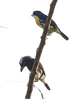 Spot-crowned barbet pair