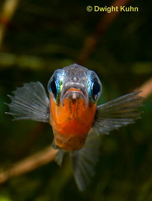 1S14-592z  Male Threespine Stickleback, Mating colors showing bright red belly and blue eyes, close-up of face, Gasterosteus aculeatus,  Hotel Lake British Columbia