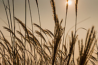 Native grasses lit from behind and the sun's light filtered by smoke from nearby wildfires.  Autumn 2020 in the San Francisco Bay region
