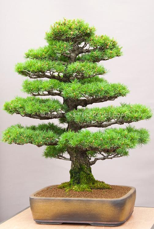 Formal Upright Bonsai Japanese White Pine tree