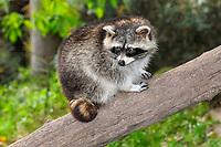 Raccoon (Procyon lotor) climbing on a tree, Lower Saxony, Germany, Europe