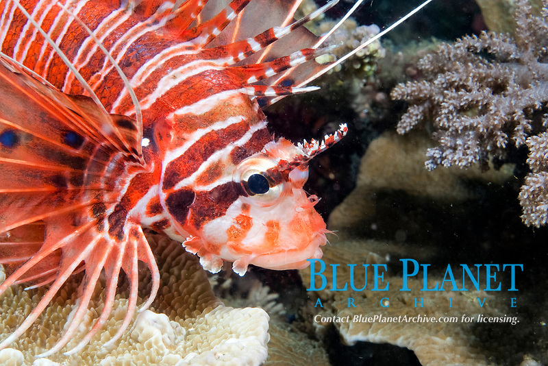 Spotfin lionfish, Pterois antennata, Balicasag Island, Philippines, Pacific Ocean