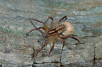 Wolfspinne, Wolfsspinne, Weibchen mit Kokon, Eikokon, Hygrolycosa rubrofasciata, Wolfspinnen, Wolfsspinnen