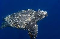leatherback sea turtle, Dermochelys coriacea, swimming, Kai Kecil, Maluku Islands, Indonesia, Indo-Pacific Ocean