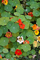 Nasturtiums Tropaeoleum, mixture of colors and types, annual climbing vine in variety of colors, red, orange, white, yellow, with foliage