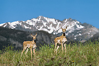 Pronghorn Antelope fawns in grasslands below Electric Peak, Yellowstone National Park, Montana.  June
