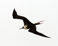 Adult female magnificent frigatebird