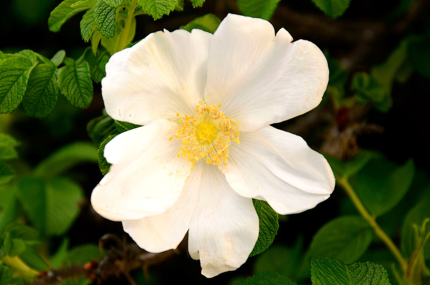 The beautiful and fragrant beach rose... this one in white.