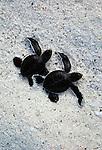 Green sea turtle hatchlings, Galapagos Islands, Ecuador