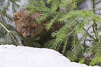 Fisher peering through some spruce limbs - CA