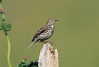 Meadow Pipit, Anthus pratensis, adult on fence post, Rothenthurm, Switzerland, May 1995