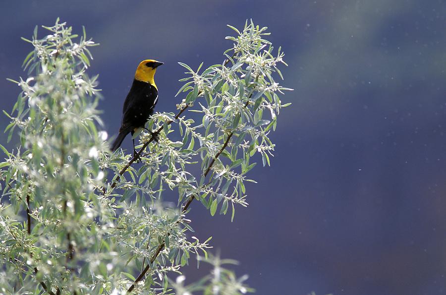 Yellow-headed blackbird in tree, Jameson Lake, eastern Washington