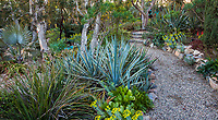Gravel path through succulent garden with Agave tequilana variegata 'Tequila Sunrise' under Melaleuca trees in Patrick Anderson Garden