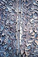 Buchdrucker, Grosser Borkenkaefer, Achtzaehniger Borkenkaefer (Ips typographus), Frassbild. | engraver beetle, common European engraver, spruce bark beetle (Ips typographus)