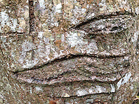 Bark Detail, Iao Valley State Park, Maui, Hawaii, US