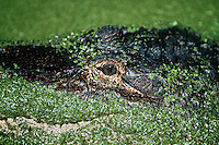 Portrait of an American alligator (Alligator mississippiensis) in duckweed camouflage. Florida.
