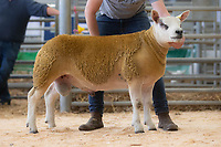 29.8.2020 The Welsh National Sale of Texel sheep, Welshpool Livestock Market<br /> Lot 155 Pasucha Diamond owned by Robert Bennett sold for 2000 gns<br /> ©Tim Scrivener Photographer 07850 303986<br />      ....Covering Agriculture In The UK.