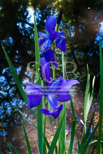 Richmond Park, England. Blue Iris.