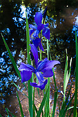 Richmond Park, England. Blue Iris.