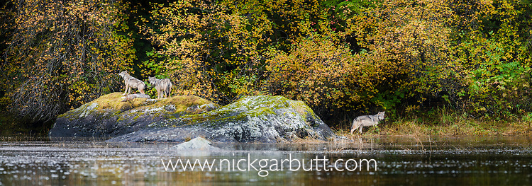 A pack of timber wolves (Canis lupus) resting on a rock by the shoreline. Near Mussel Inlet, Great Bear Rainforest, British Columbia, Canada, October.