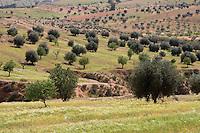 Al-Khadra, nearTarhouna, Libya - Countryside, with Olive Trees