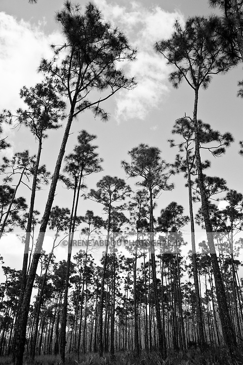 "A forest of long pine trees is aptly named ""Long Pine Key.""  Long Pine Key lies near the eastern edge of the Everglades National Park and is accessed through the Ernest F. Coe Visitor Center."