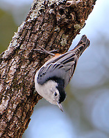 Adult male white-breasted nuthatch