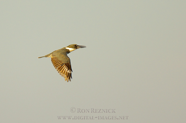 Belted Kingfisher, Sunset Flight, Sepulveda Wildlife Refuge, Southern California
