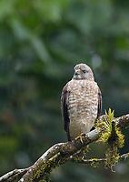 A juvenile Broad-winged hawk endures a light rainfall.
