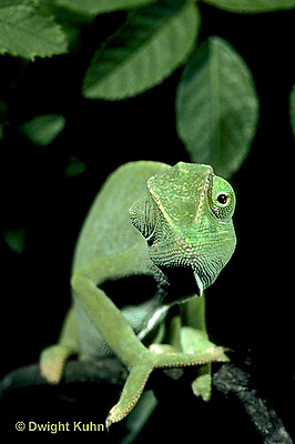 CH05-026z  African Chameleon - with eyes rotating separately - Chameleo senegalensis