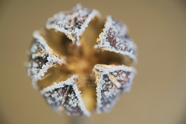 Marsh Mallow (Althaea officinalis), close up of frost covered seed pod, Raleigh, North Carolina, USA