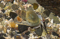 Gemeine Wellhornschnecke, Wellhorn-Schnecke, Coxe, Buccinum undatum, common whelk, edible European whelk, waved whelk, buckie, common northern whelk