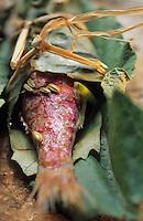 """Europe/France/Provence-Alpes-Côte d'Azur/84/Vaucluse/Menerbes: Rougets cuits en papillotes dans des feuilles - Restaurant """"La Bastide de Marie"""""""