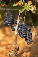 Bunches of ripe grapes. Pinot Noir. Pommard, Cote de Beaune, d'Or, Burgundy, France