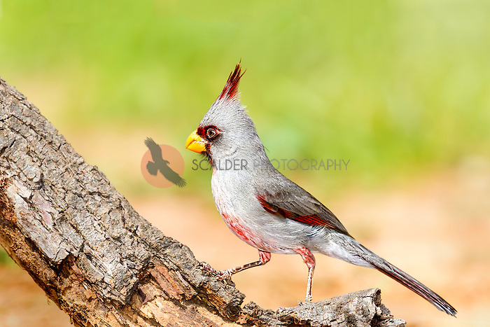 Male Pyrrhuloxia perched on a tree limb with bird in profile