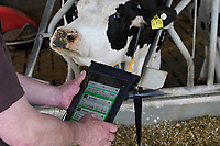 GERMANY, Echem, smart dairy cow milk farm, digitalization of agriculture, milk cows in stable, wearing sensor and reporting chips for robot milking, work with tablet / DEUTSCHLAND, Landwirtschaftlichen Bildungszentrum (EBZ) in Echem, Digitalisierung im Kuhstall und Melkstand, Milchkühe tragen Sensoren und Melder für den Melkroboter, Arbeit mit Tablet