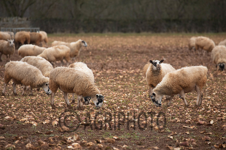 5/1/2021 Ewes grazing stubble turnips<br /> ©Tim Scrivener Photographer 07850 303986<br />      ....Covering Agriculture In The UK....