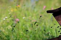 Bees flying towards the entrance to a hive.///Des abeilles volent vers l'entrée d'une ruche.