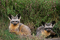 Bat-eared foxes (Otocyon megalotis) Serengeti National Park, Tanzania.