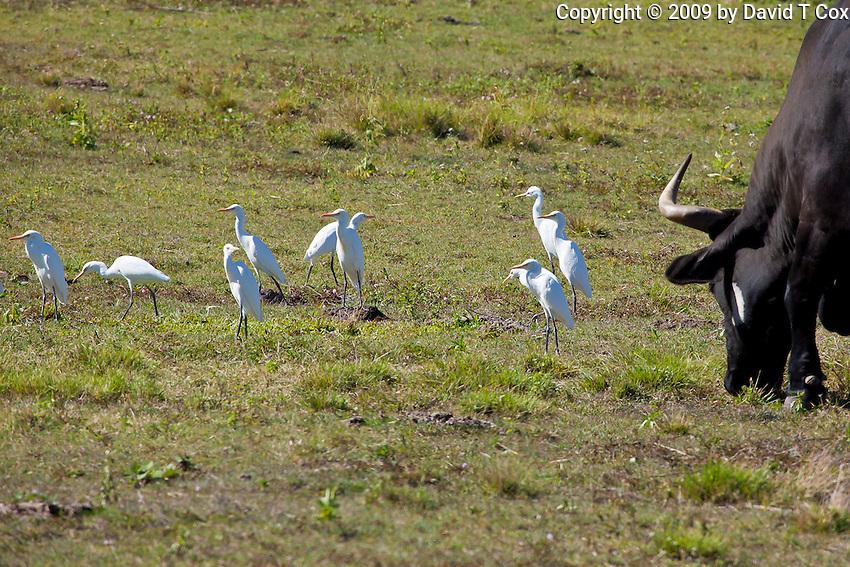 Cattle Egret, near Eungella NP, Queensland, Australia