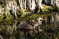 A pair of ducks swim in the water in the marshes near Merritt Island, FL, March 2020.(Photo by Brian Cleary/bcpix.com)