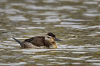 Ruddy Duck, female, Brownfield, Texas