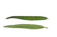 Sanddorn, Sand-Dorn, Küsten-Sanddorn, Hippophae rhamnoides rhamnoides, common sea-buckthorn, Sea Buckthorn, Argousier, Saule épineux. Blatt, Blätter, leaf, leaves